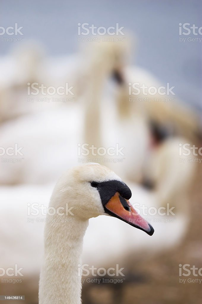 individual swan neck and head stock photo