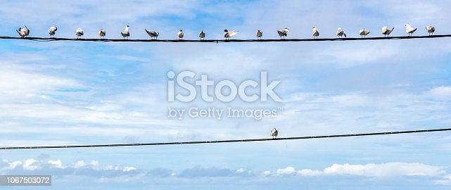 Individuality symbol, think out of the box, independent thinker concept or individuality as a group of pigeon birds on a wire with one individual in the opposite direction as a business icon.