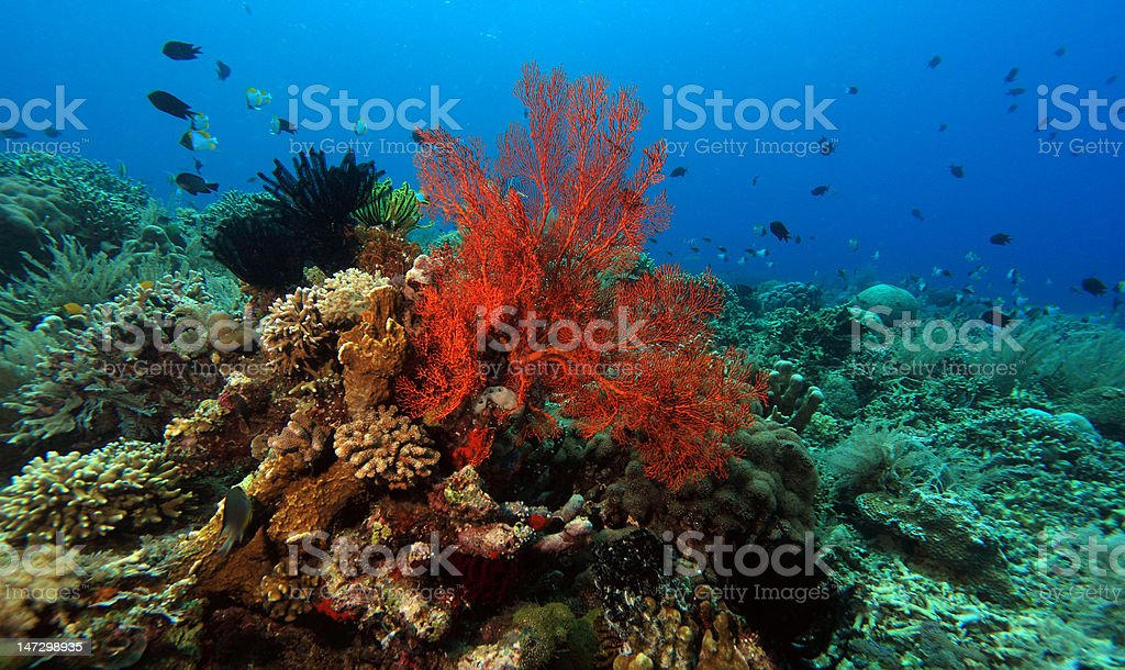 indo pacific coral reef stock photo
