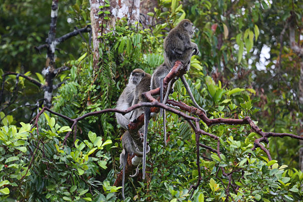Indonesia: Long-Tailed Macaque at Tanjung Puting stock photo