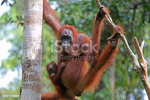 A mother orangutan (Pongo pygmaeus) carries her baby in the rainforest of the Tanjung Puting National Park in Borneo. This endangered species is found throughout Borneo, and it's related species, the Pongo abelii, is found in Sumatra.