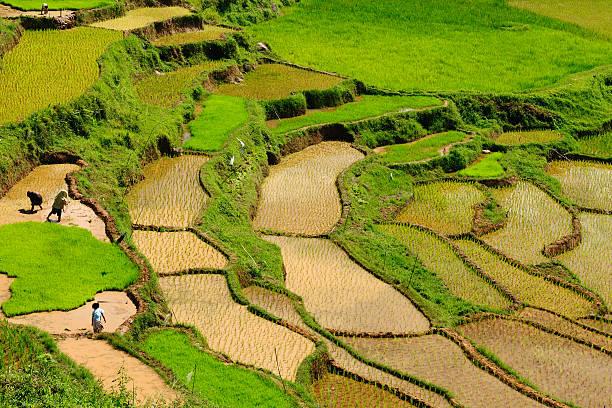 Indonesia, Sulawesi, Tana Toraja, Rice terraces Indonesia - green rice terraces in Tana Toraja, South Sulawesi sulawesi stock pictures, royalty-free photos & images