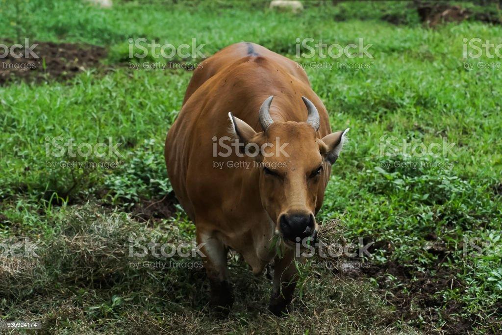 Indonesia Wild Bull stock photo