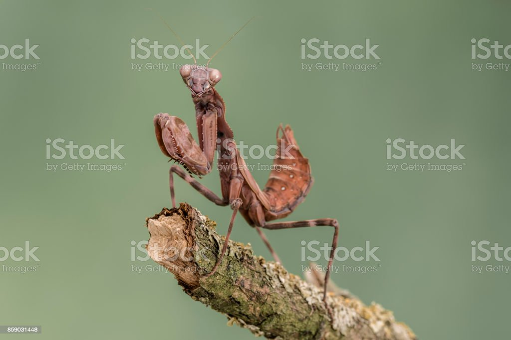 Indonesian Double Shield Mantis, isolated against a muted green background. pnigomantis medioconstricta stock photo