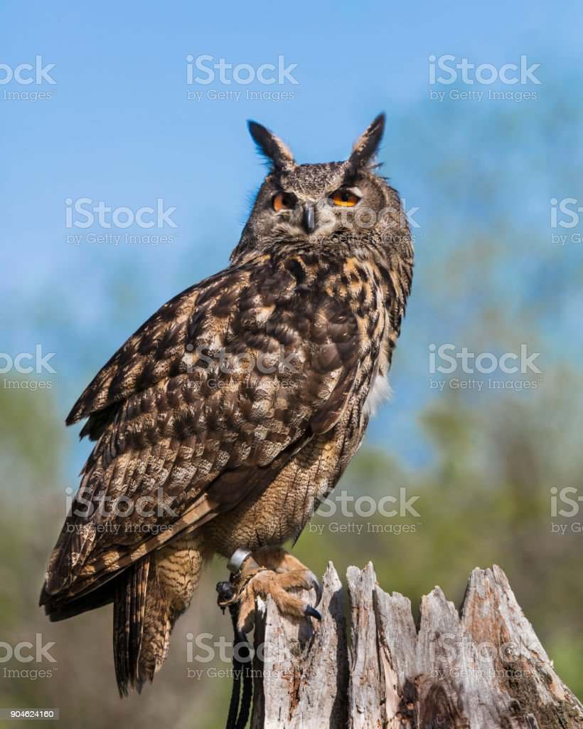 Indonesian Eagle Owl posing for the camera stock photo