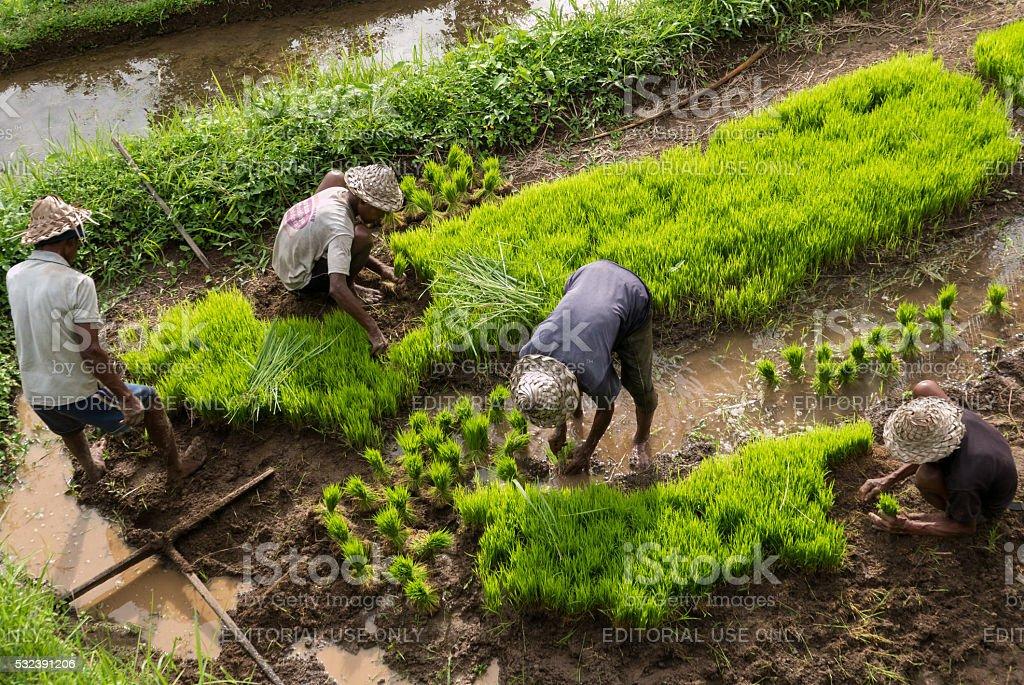 Agricoltori Indonesiano Uomo Lavorando Su Risaie A Terrazza