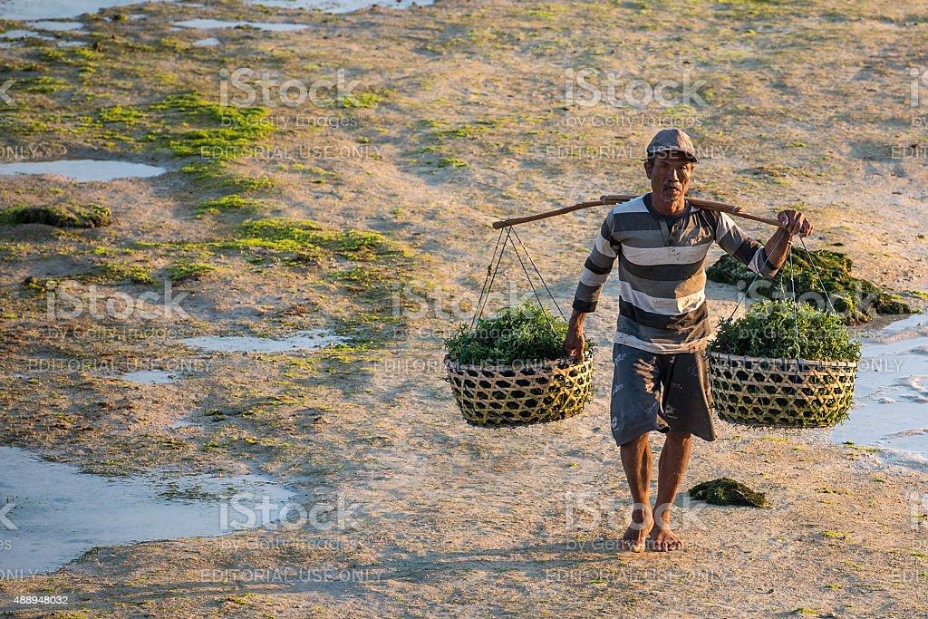 Indonesian Seaweed Farmer stock photo