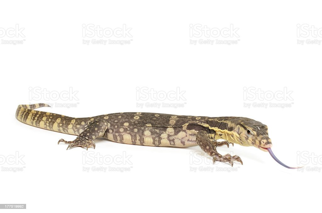 Indonesian Water Monitor royalty-free stock photo