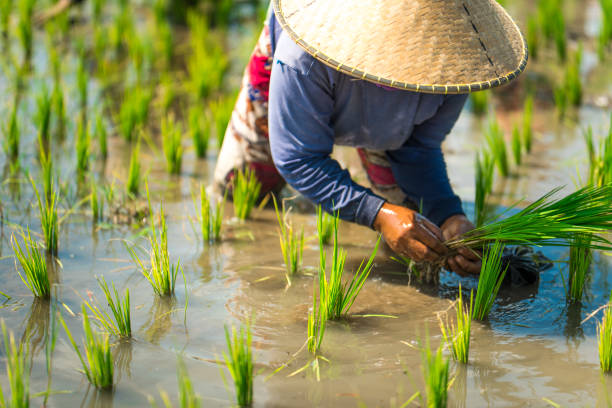 Indonesian woman on the rice field Indonesian woman on the rice field. rice paddy stock pictures, royalty-free photos & images