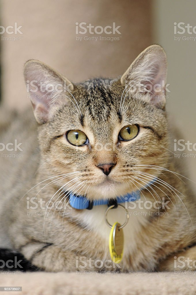 Indoor Cat with Collar and ID Tags Direct Eye Contact royalty-free stock photo