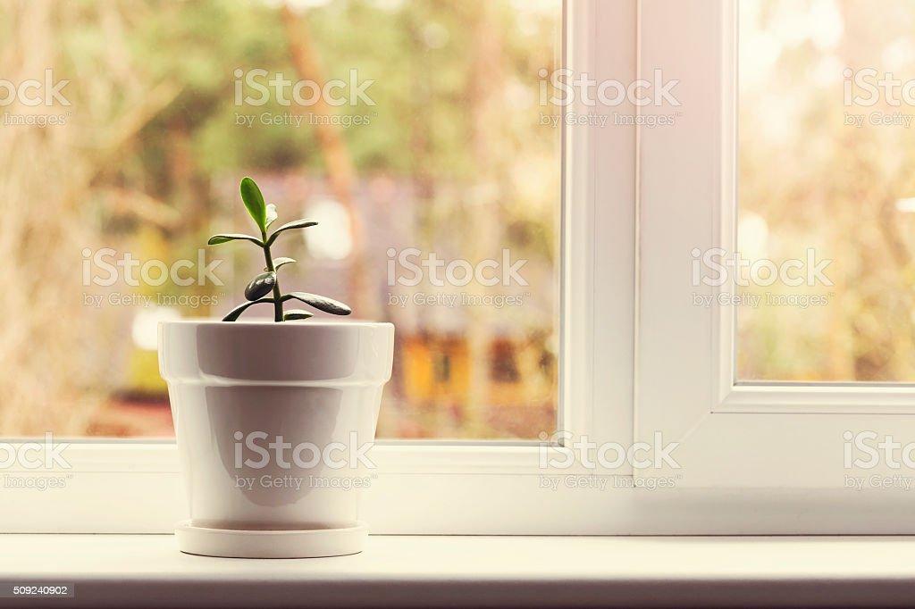 indoor crassula plant in pot on window sill stock photo