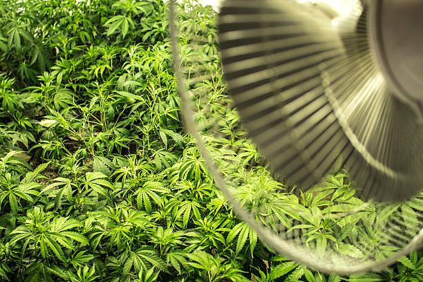 Indoor Field of Marijuana Plants under Fan stock photo