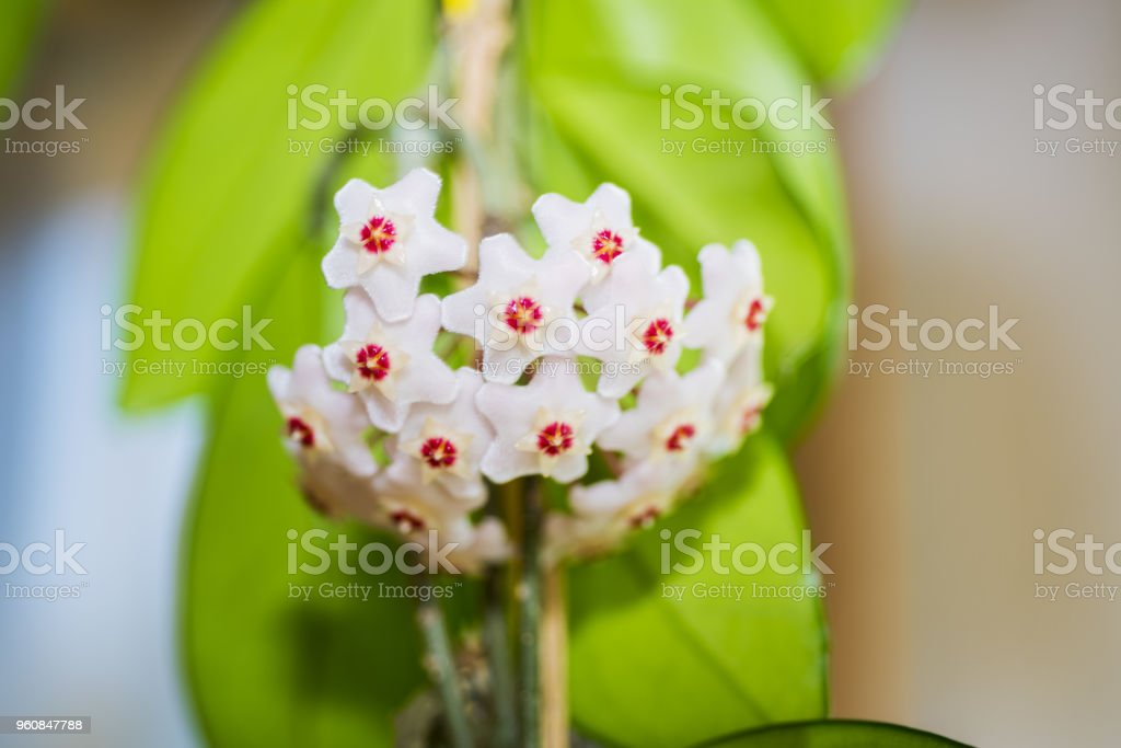 Indoor flower Hoya or Wax ivy stock photo