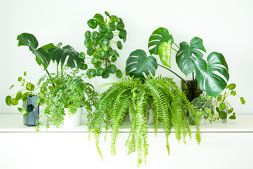 Indoor gardening, indoor jungle with popular house indoor plants, monstera, pilea peperomioides, boston fern, maiden fern, english ivy. All on tope of set of white drawers against white wall.