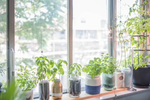 Indoor Herb Plant Garden in Flower Pots by Window Sill stock photo