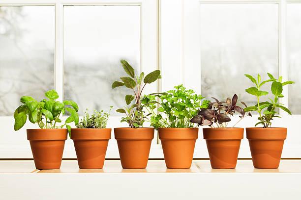kryty zioło kwiat ogród rośliny w doniczkach na parapet - liść mięty przyprawa zdjęcia i obrazy z banku zdjęć