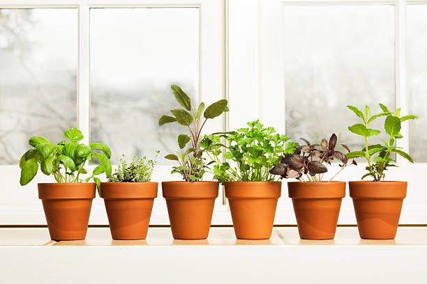 Indoor Herb Plant Garden in Flower Pots by Window Sill stock photo