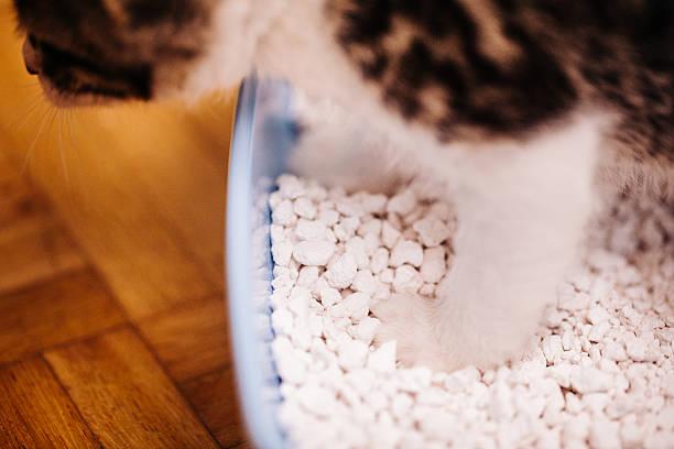 Indoor house cat standing in its cat litter tray picture id499157656?b=1&k=6&m=499157656&s=612x612&w=0&h=8uxvyea44ga5e iyqunhy2oljg6fpjtswassxesymue=