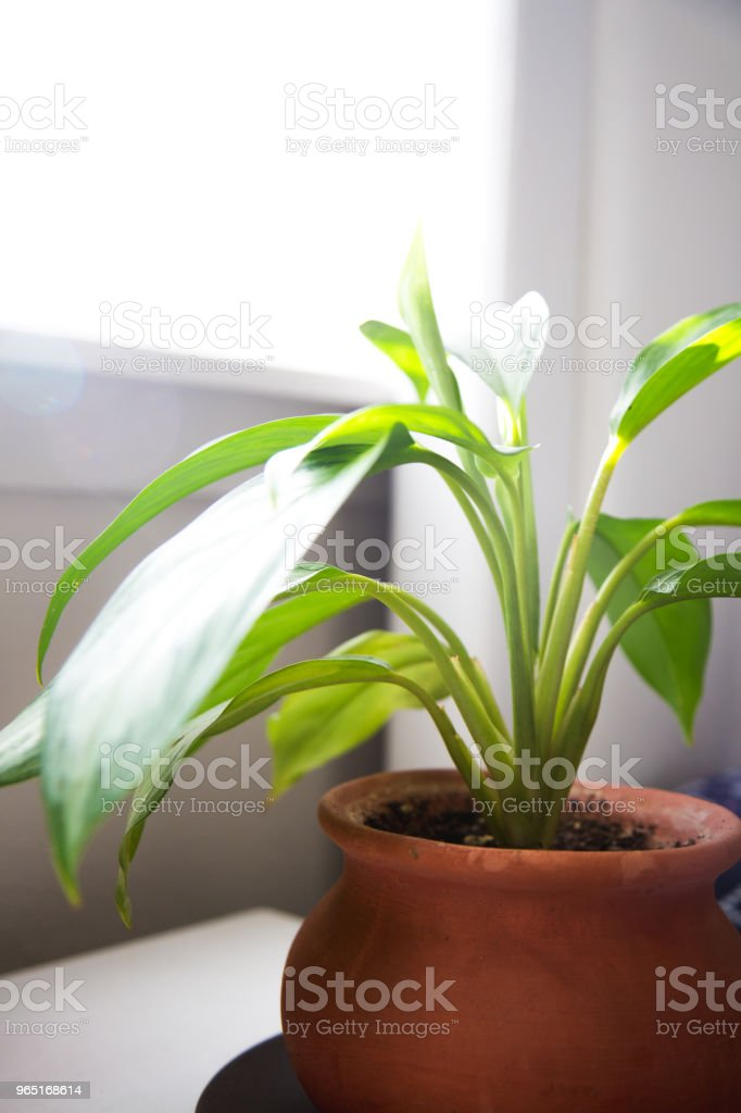 Indoor house plant getting sunshine royalty-free stock photo