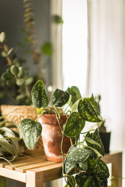 Indoor House Plant Real living indoor potted house plants. These plants purify the indoor air of a home, and add a warm life giving feeling to the room. houseplant stock pictures, royalty-free photos & images