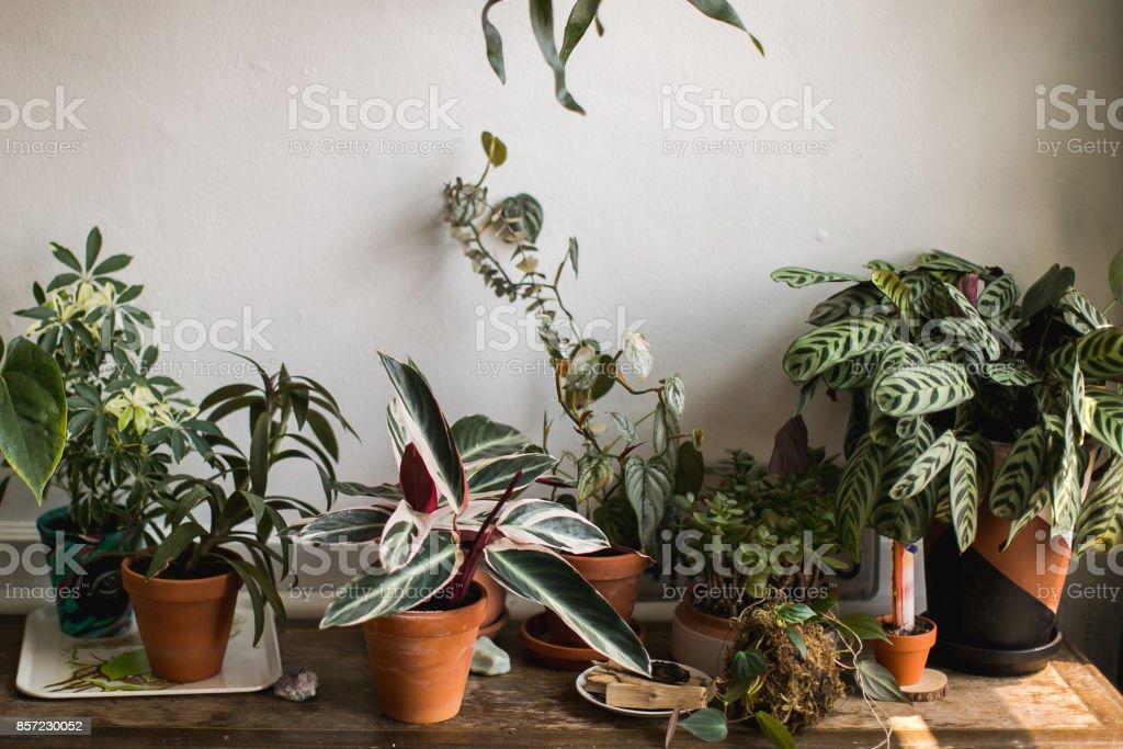 Indoor House Plant stock photo