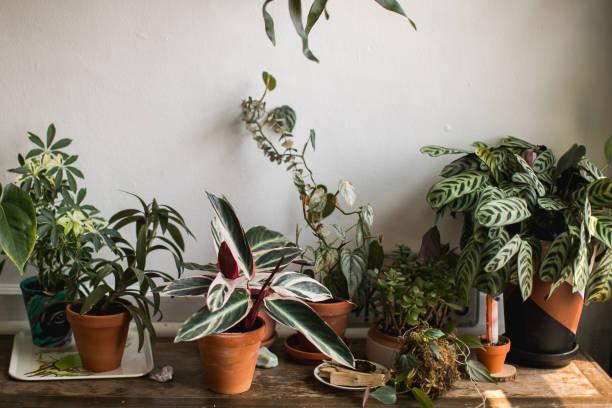 indoor kamerplant - kamerplant stockfoto's en -beelden
