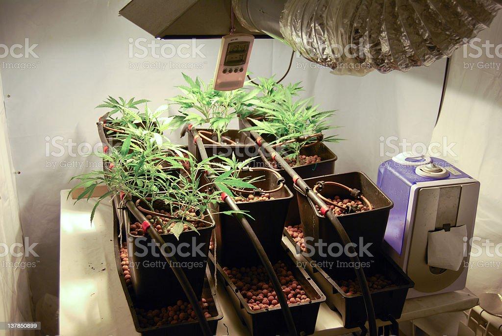 Indoor Marihuana growing royalty-free stock photo