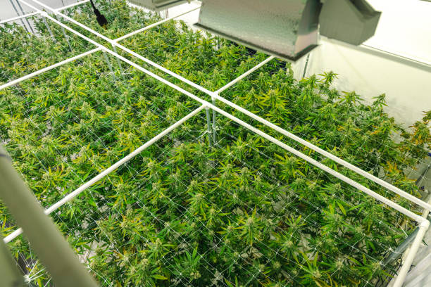 Indoor Marijuana Cultivation Background of Plants Ready for Harvest at Commercial Greenhouse stock photo