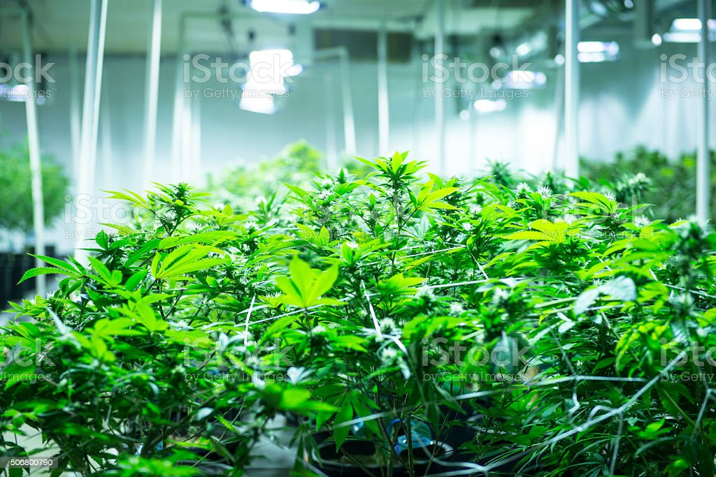 Indoor marijuana garden stock photo