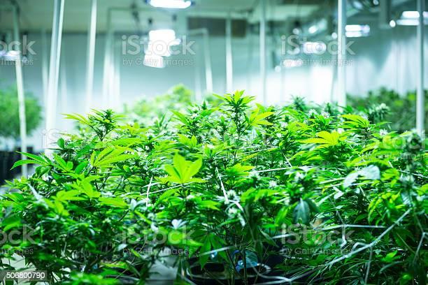 Indoor Marijuana Garden Stock Photo - Download Image Now