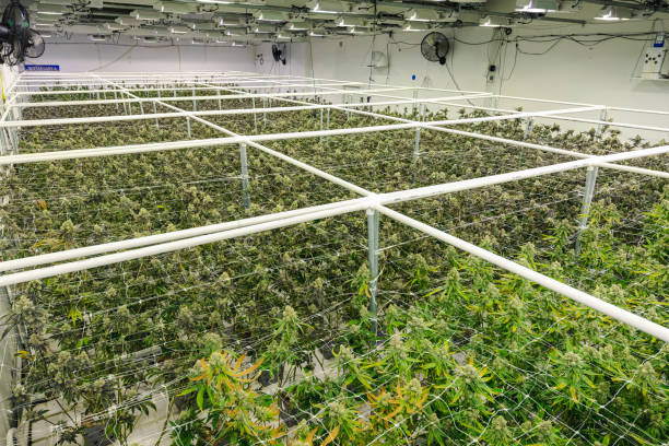 Indoor Marijuana Greenhouse Building with Thick Cannabis Plant Garden stock photo