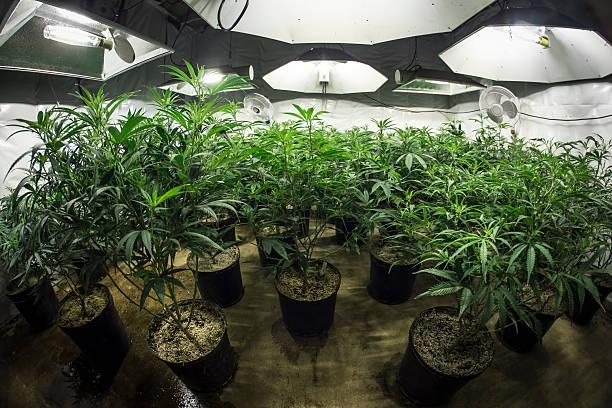 Indoor Marijuana Grow Room with Plants in Soil Under Lights stock photo