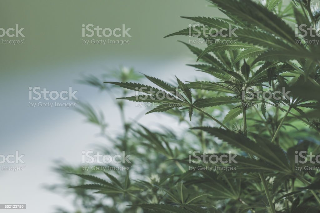Indoor marijuana plants landscape stock photo