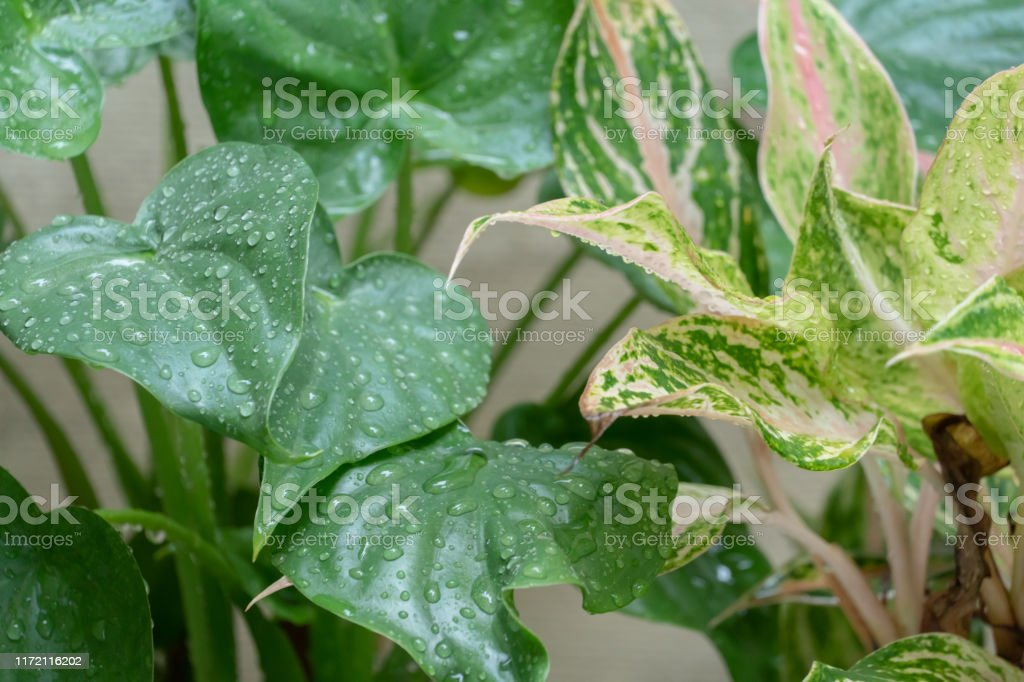 Indoor Plant Pink And Green Leaves With Water Drop Stock Photo Download Image Now Istock