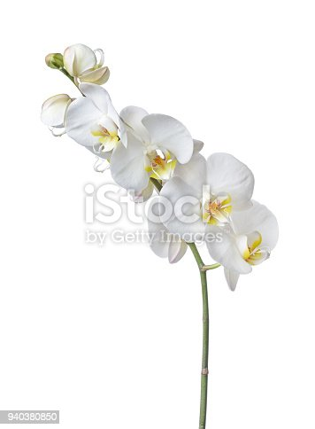 Indoor plant white orchid flower isolated on white background