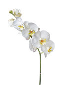 istock Indoor plant white orchid flower 940380850