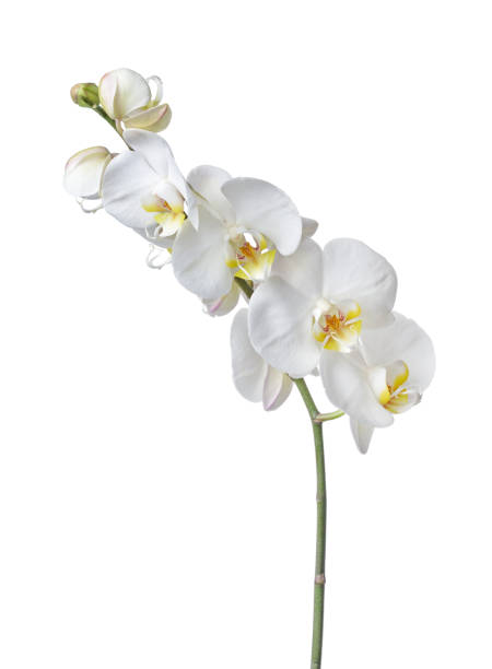 indoor plant white orchid flower - orchidea foto e immagini stock