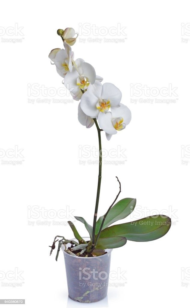 Indoor Plant White Orchid Flower Stock Photo More Pictures Of