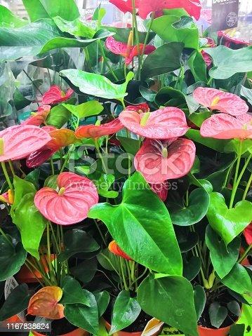 Indoor red anthurium flower in the Interior. Artificial Potted Green Anthurium