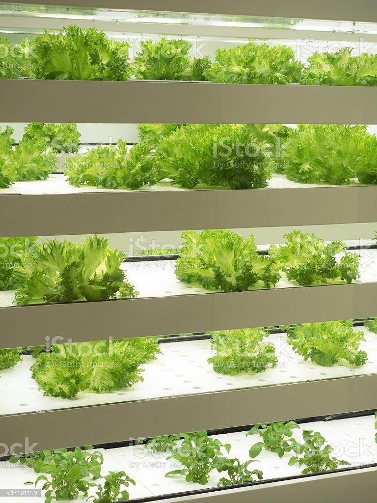 Indoor vegetable factory stock photo