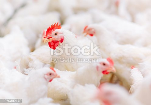 Indoors chicken farm, chicken feeding, farm for growing broiler chickens.