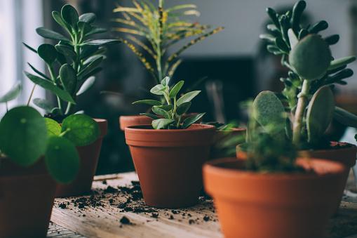 Indoors Gardening, Potting Succulent Houseplants
