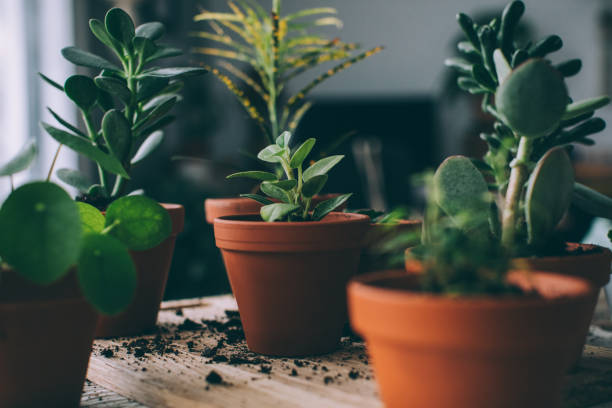 Indoors Gardening, Potting Succulent Houseplants Repotting plants, preparing pots. potting stock pictures, royalty-free photos & images