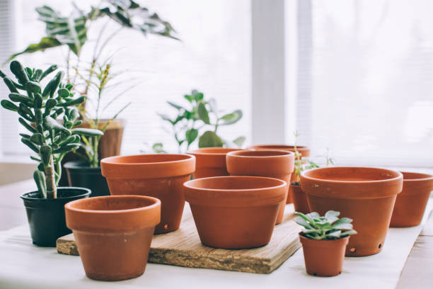 Indoors Gardening, Potting Succulent Houseplants stock photo