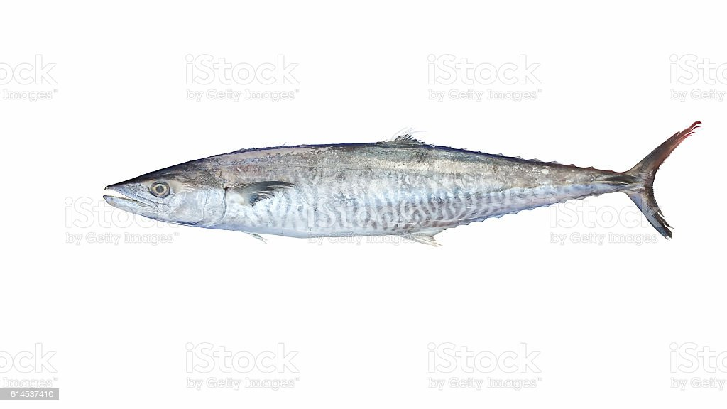 Indo-Pacific King mackerel On a white background . - foto de acervo