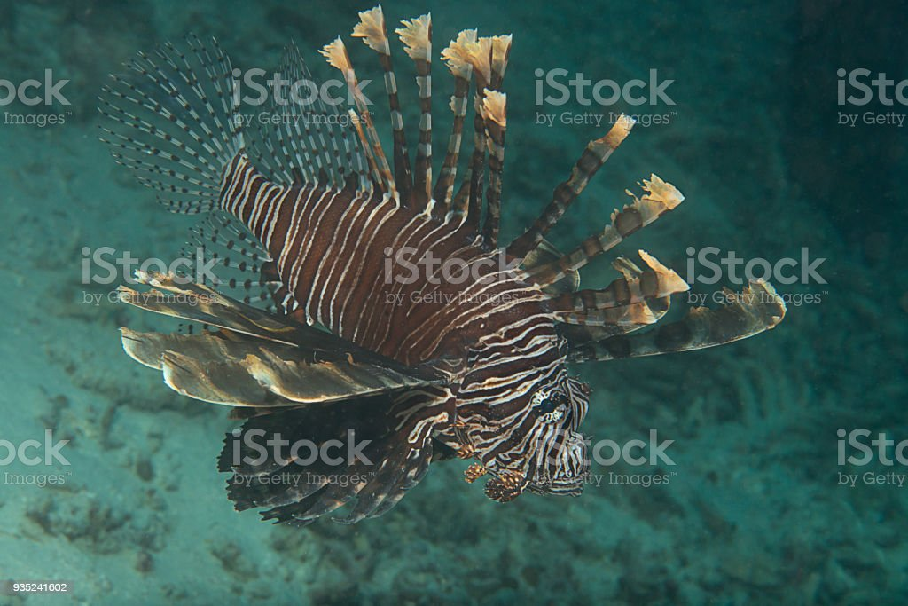Indo-Pacific Lionfish (Pterois volitans) swimming over corals of Raja Ampat stock photo