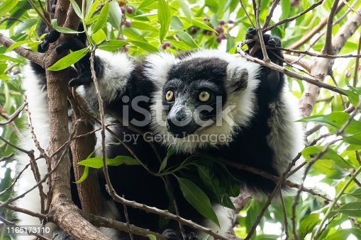 Indri, also called the babakoto, one of the largest living lemurs. It has a black and white coat, monogamous and lives in small family groups