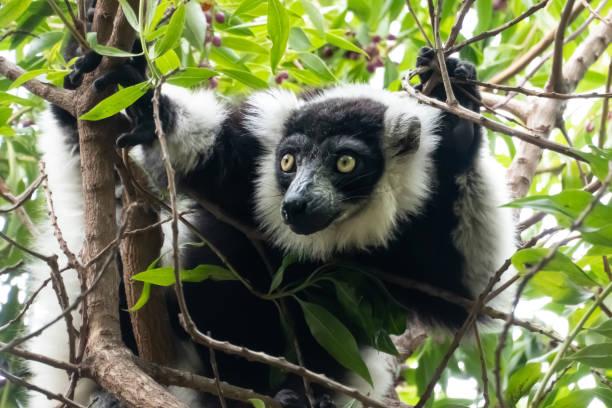 Indri, auch Babakoto genannt, einer der größten lebenden Lemuren. Es hat einen schwarz-weißen Mantel, monogam und lebt in kleinen Familiengruppen – Foto