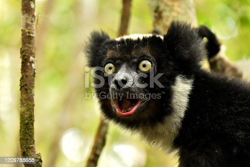 Lemur's live in a forest of Eastern Central Madagascar