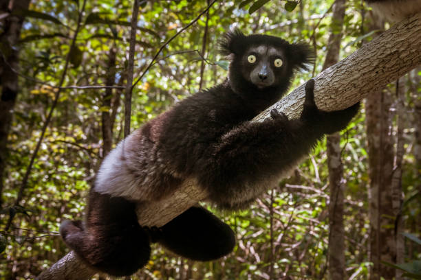 indri indri (babakoto) - lemur bildbanksfoton och bilder
